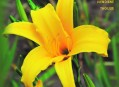 Daylily Booklet in English