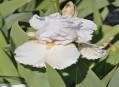 New Intros of Middle European Irises