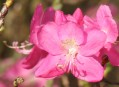 Information Panels:  Rhododendrons - Clasification