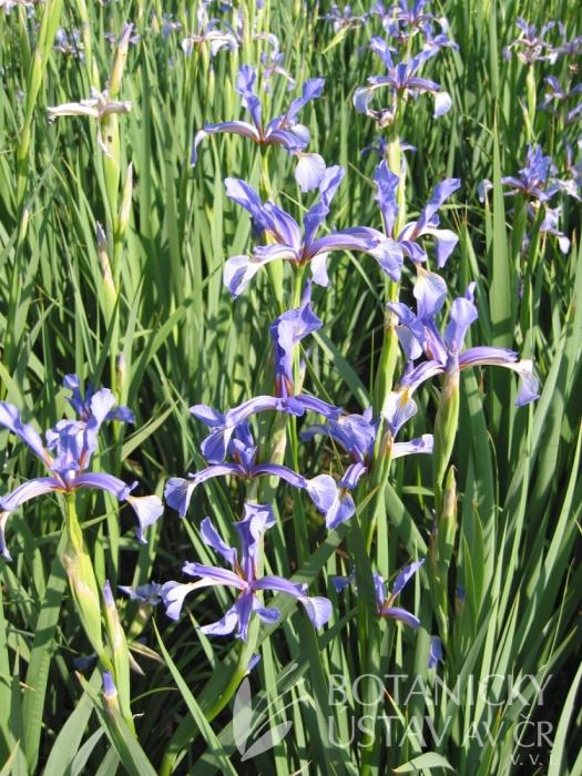 Iris carthaliniae