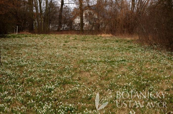 Galanthus nivalis, Sedlnické sněženky, Poodří