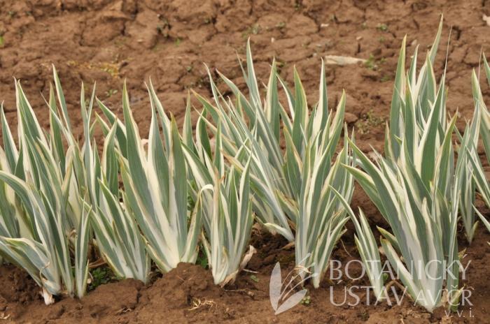 Iris pallida Argentea