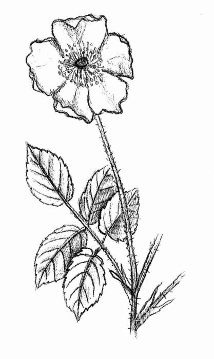 Rosa gallica