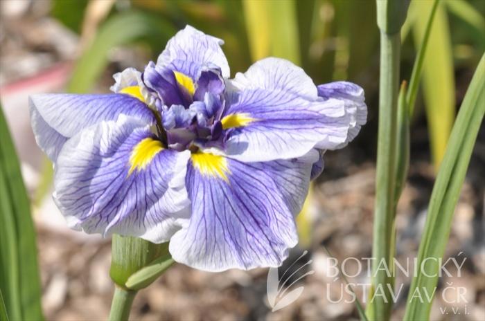 Iris ensata JI 4 (2)