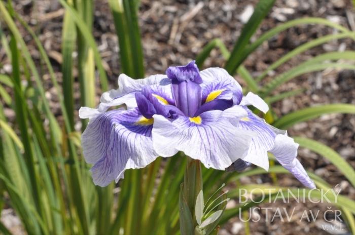 Iris ensata JI 9
