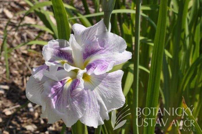 Iris ensata Light at Dawn