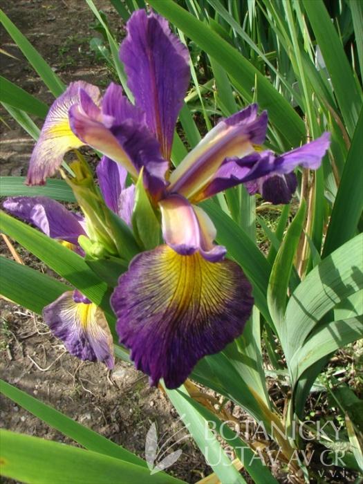 Iris ensata Pin Stripe 2