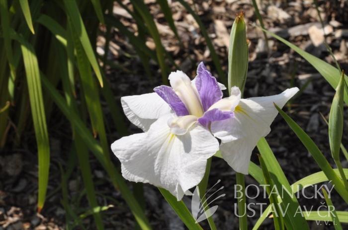 Iris ensata Prairie Noble