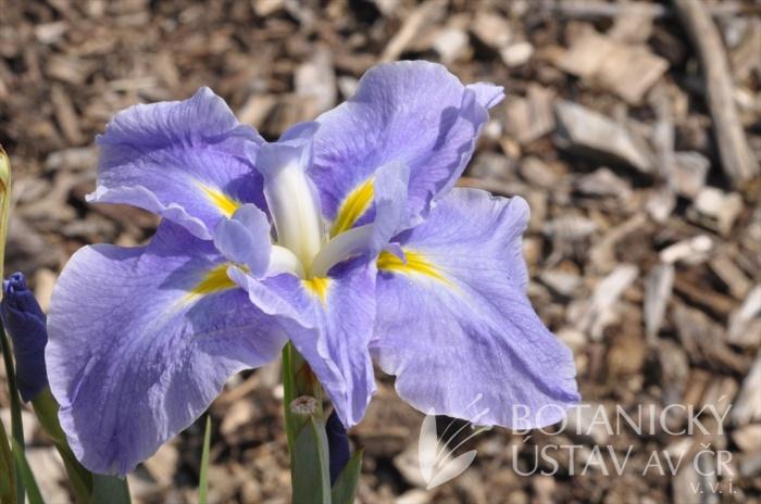 Iris ensata Strut and Flourish