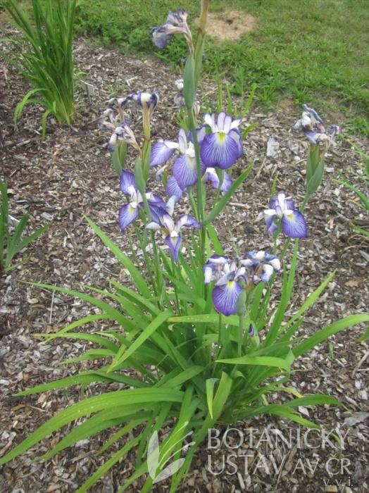 Iris ensata Yamanobe
