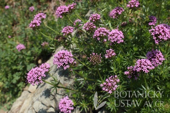Phuopsis stylosa