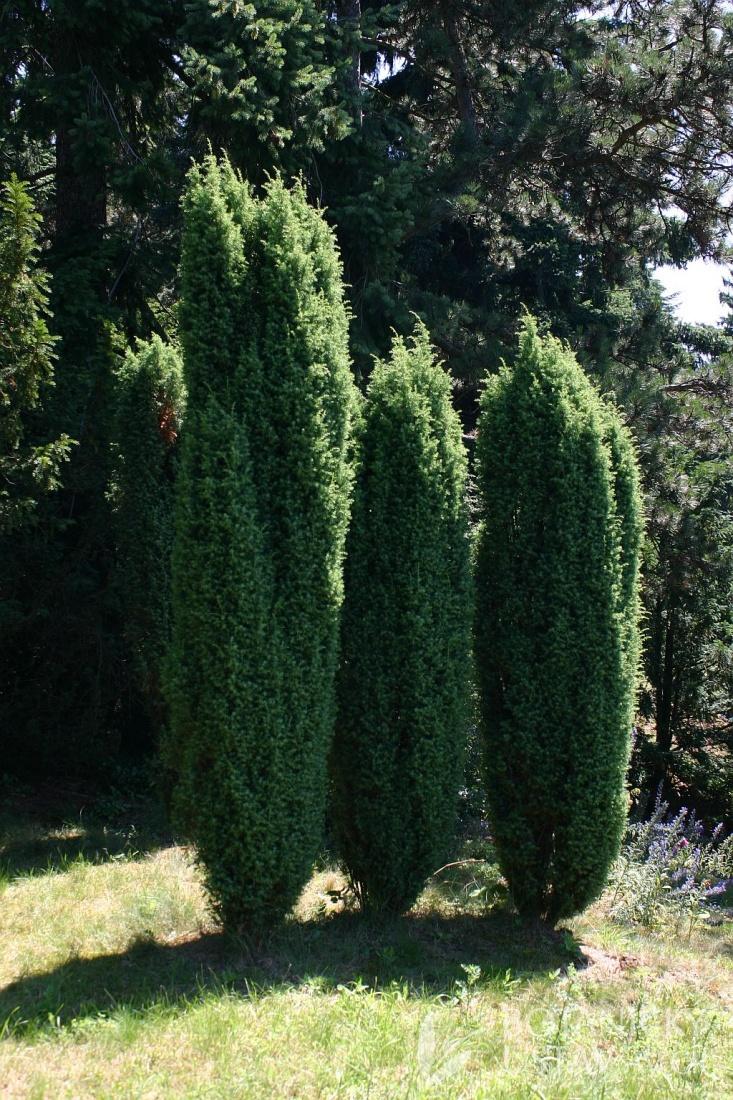 juniperus communis 39 hibernica 39 photogallery. Black Bedroom Furniture Sets. Home Design Ideas