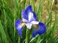 Display of Siberian Iris