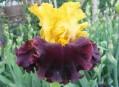 Iris Trial Garden
