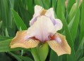 Dwarf Bearded irises