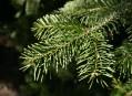 Jehličnaté dřeviny pěstované v Alpinu
