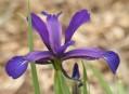 Iris spuria a příbuzné druhy – význam pro kulturu