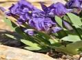 Kosatec nízký - Iris pumila