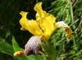 Iris variegata L. - kosatec různobarevný