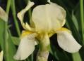 Iris x flavescens - kosatec žlutavý