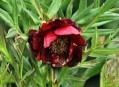 Paeonia delavayi Franchet