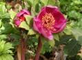 Paeonia kesrouanensis Thiébaut
