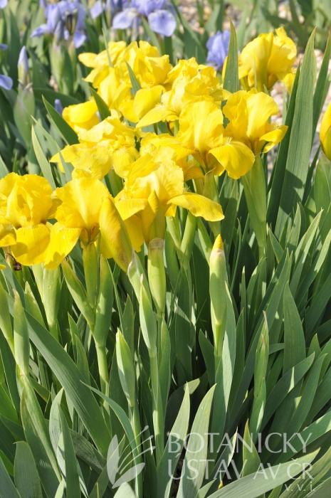 Iris barbata nana Brassie