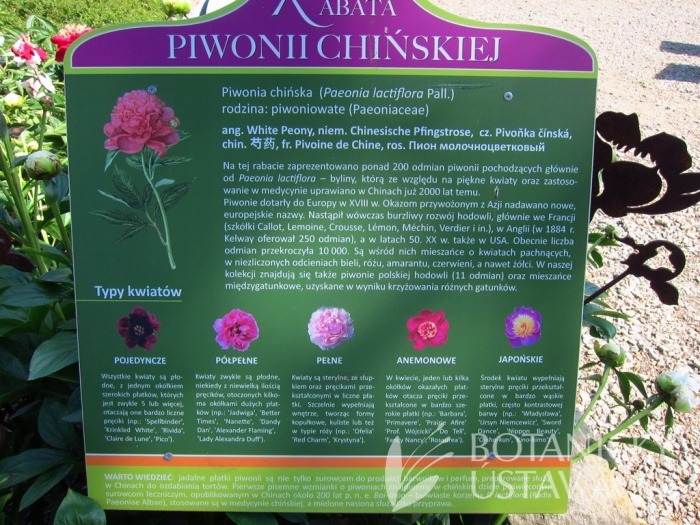 Collection of Peonies