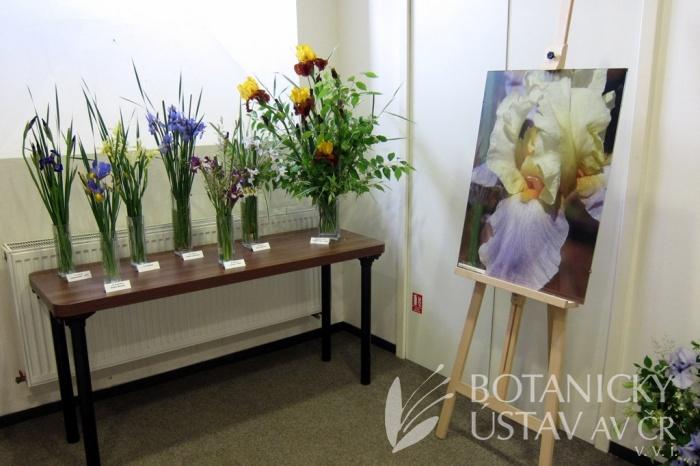 Kosatce bez kartáčků a plakát Iris barbata elatior Swedish Modern
