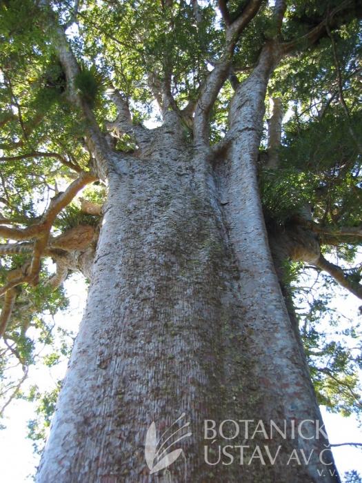 Square Kauri - Agathis australis