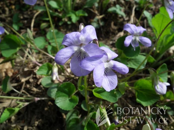 viola Rivinova (Viola riviniana)