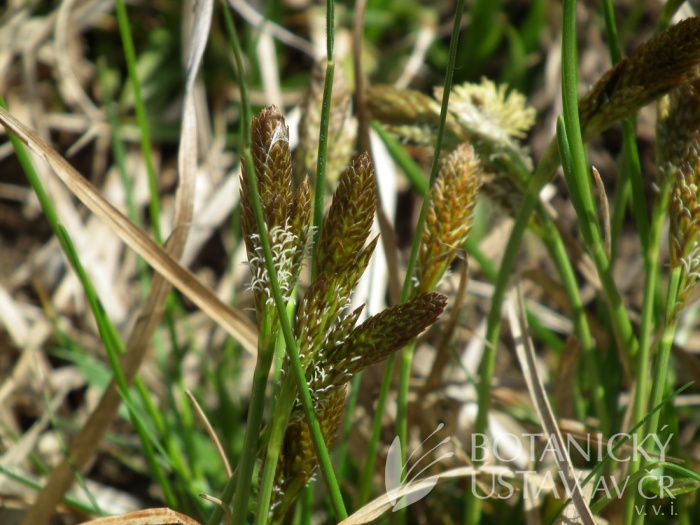 ostřice jarní (Carex caryophyllea)