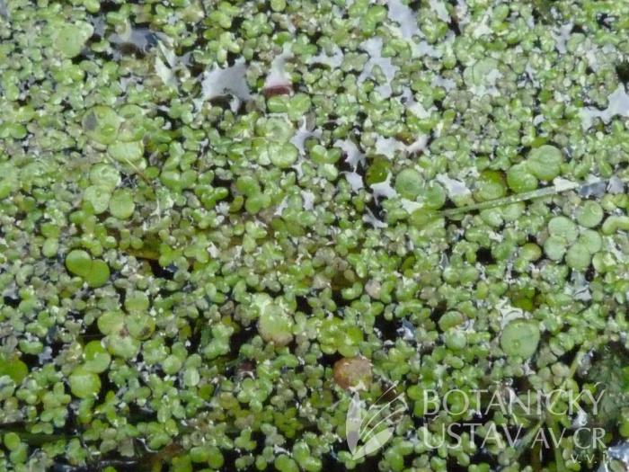 hladina rybníka s okřehkem červeným (Lemna turionifera) a závitkou mnohokořennou