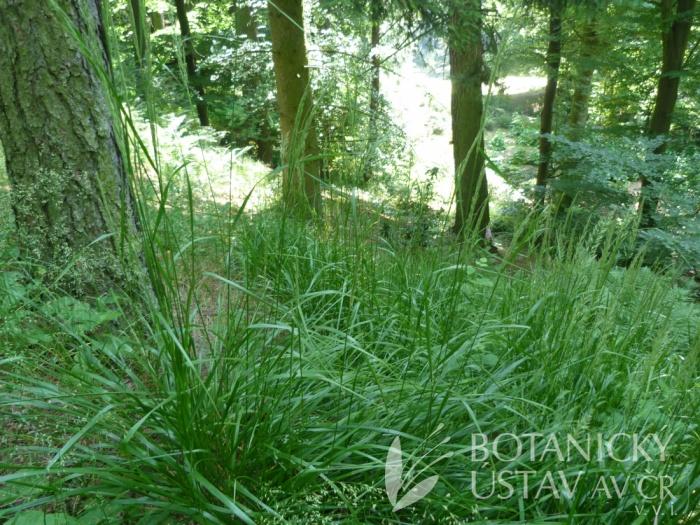 les s třtinou rákosovitou (Calamagrostis arundinacea)