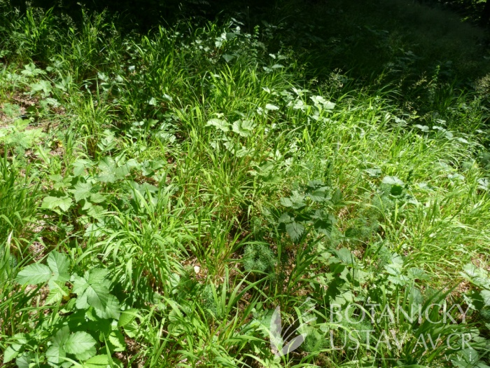 lesní světlina s válečkou lesní (Brachypodium sylvaticum)