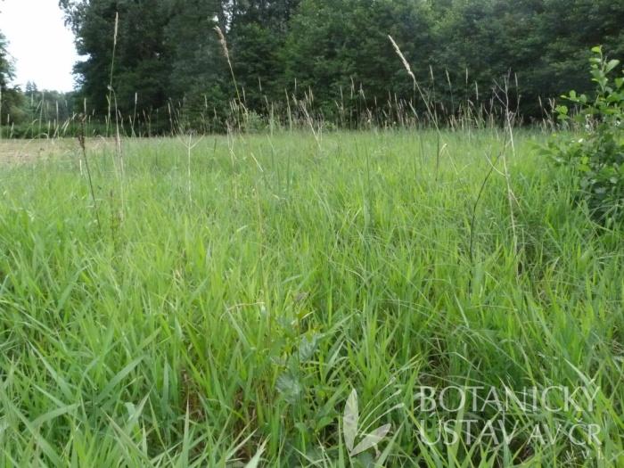 porost s chrasticí rákosovitou (Phalaris arundinacea)