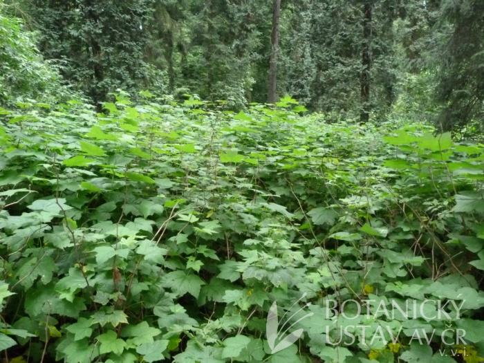 porosty s ostružiníkem nutkajským (Rubus parviflorus)