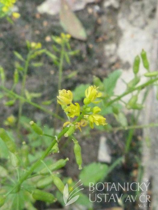 rukev bažinná (Rorippa palustris)