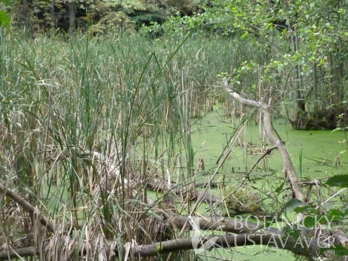 společenstvo orobince úzkolistého (Typha angustifolia)