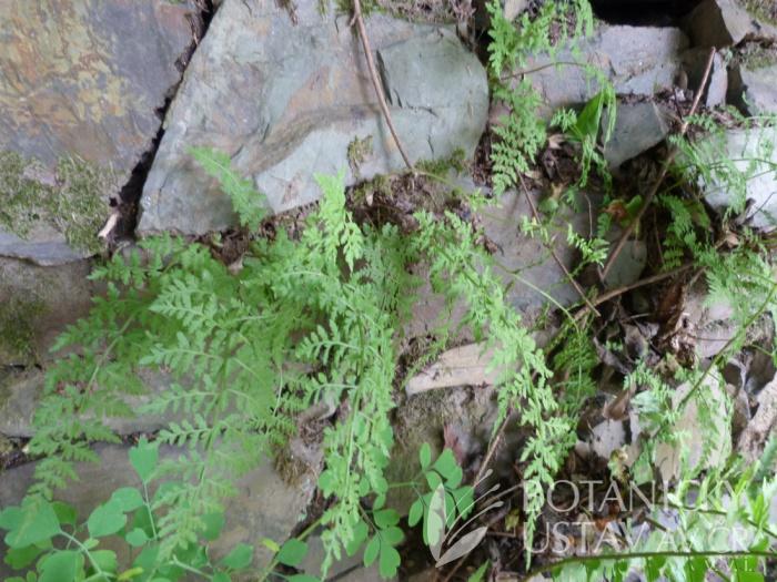 zeď s puchýřníkem křehkým (Cystopteris fragilis)