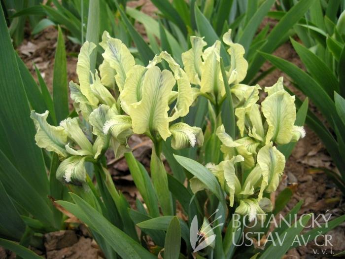 Iris pumila, Kavkaz