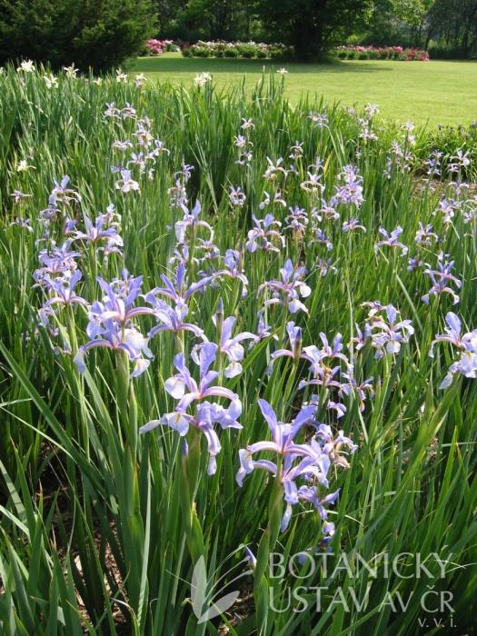Iris carhaliniae
