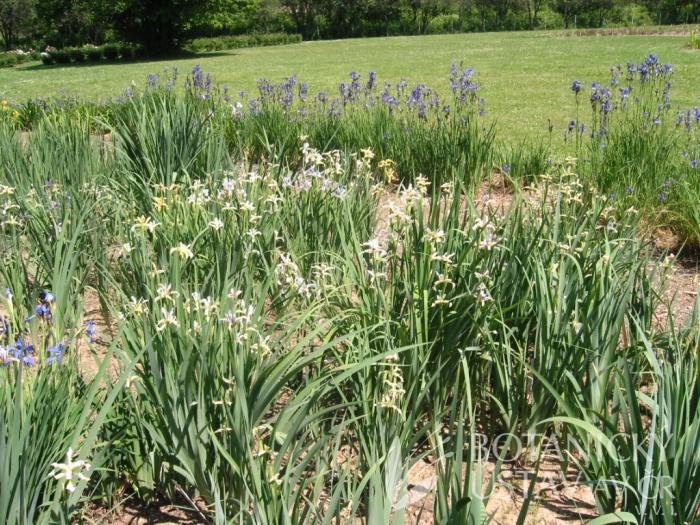 Iris halophila