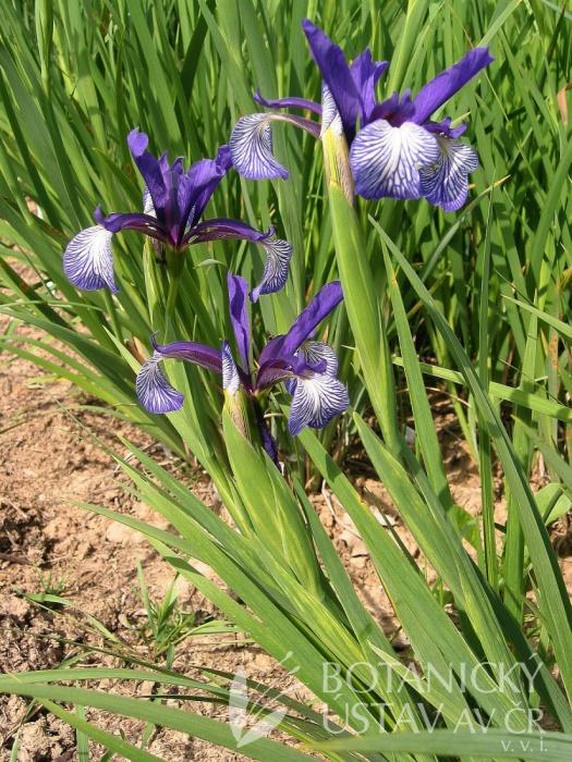 Iris maritima