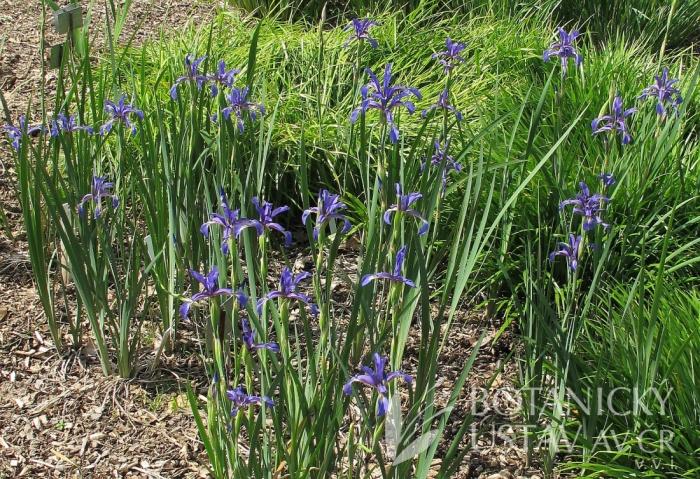 Iris spuria spuria