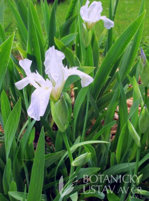 Iris variegata ´Alba´