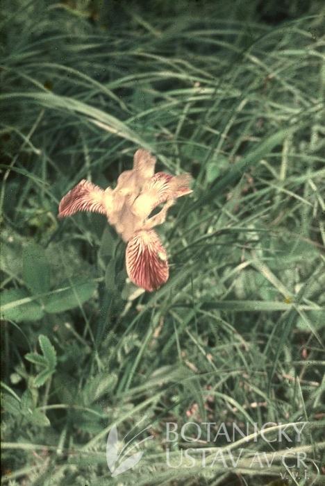 Iris x rothschildii