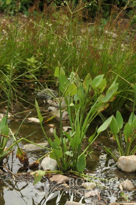 žabník jitrocelový (Alisma plantago-aquatica)