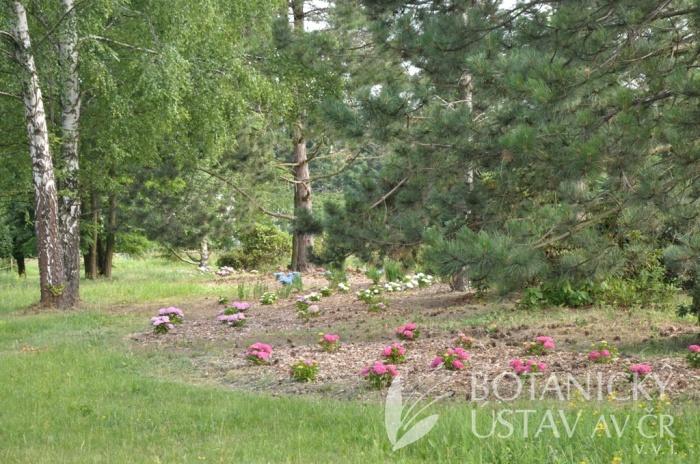 Arboretum I, výsadba hortenzií, 2015 (1)