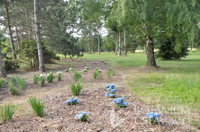Arboretum I, výsadba hortenzií, 2015